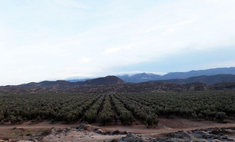 タベルナス砂漠の風景 酸度0.1のエクストラバージンオリーブオイル『カスティージョ・デ・タベルナス0.1』