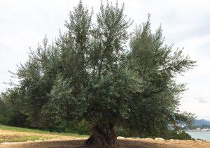 オリーブの日 樹齢千年オリーブの大樹