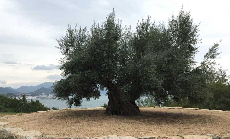 3月15日はオリーブの日。想い出日記;小豆島 樹齢千年のオリーブの木を訪ねて