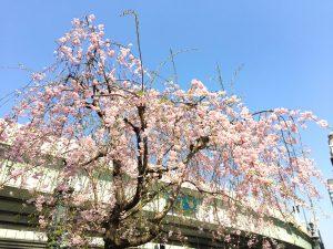 桜 東京 日本橋