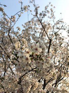 満開の桜の木の下でオリーブオイルと桜もち