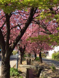 八重桜 群馬県