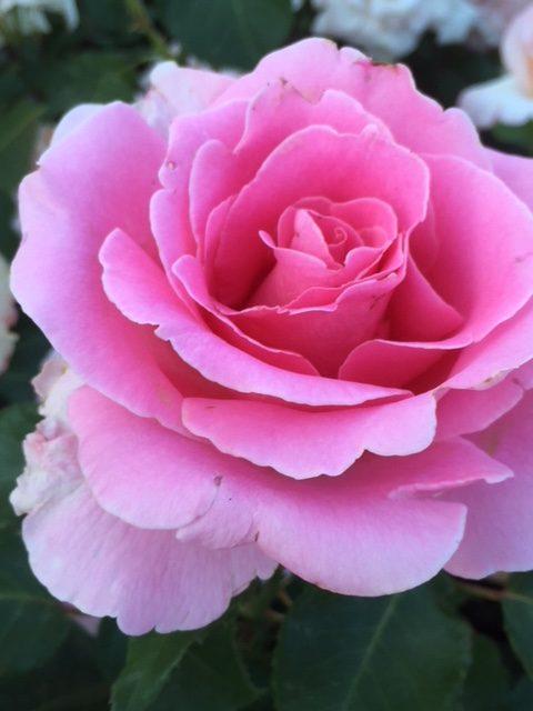 バラの季節 美しい花を見て過ごす日