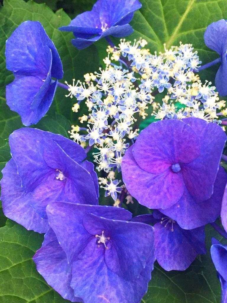6月の花 紫陽花 幸せな日々