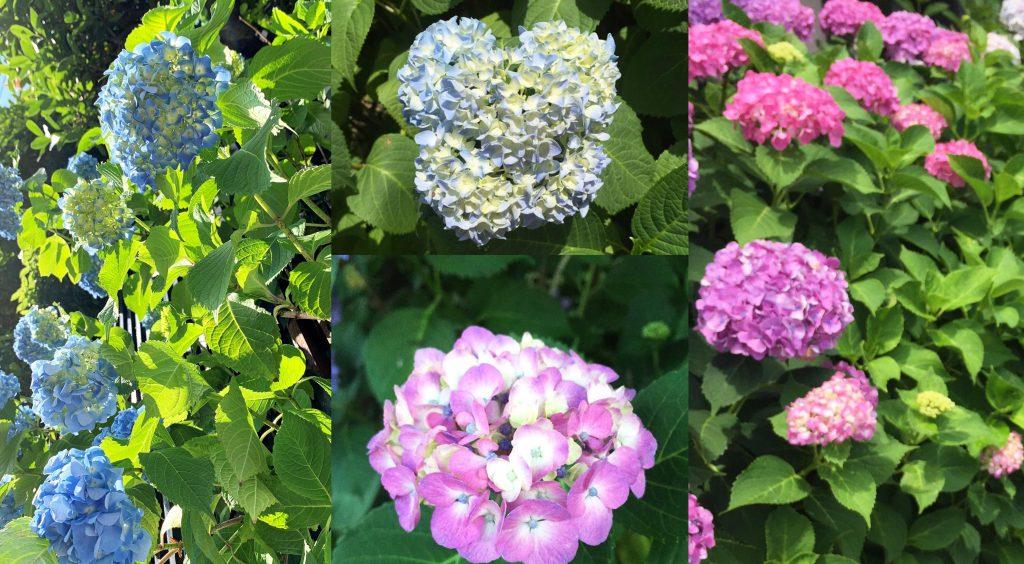 紫陽花,オリーブオイル