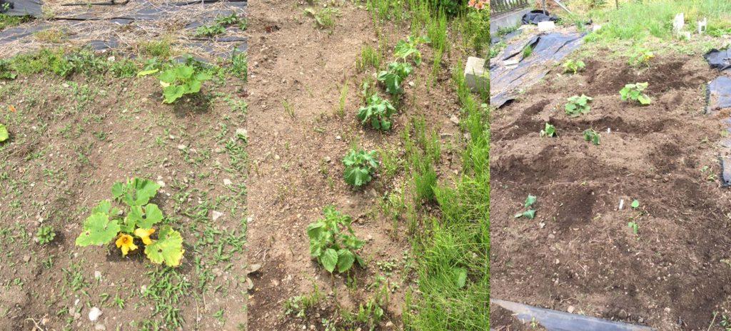 家庭菜園,オリーブオイル