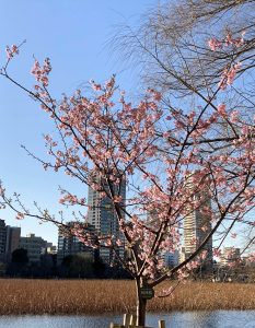 河津桜,上野,桜,春夏秋冬,四季,歴史散歩